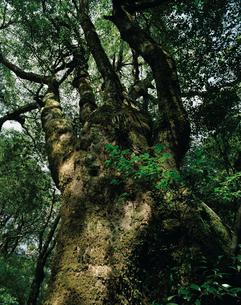 ヤマグルマの大木の写真素材 [FYI04046949]