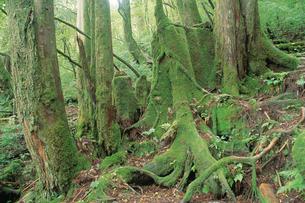 江戸時代の切り株のあるヤクスギの森の写真素材 [FYI04046959]