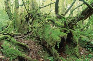 倒木の上に育つヤクスギ(倒木上更新)の写真素材 [FYI04046961]