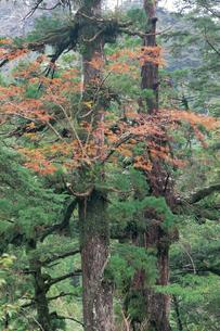 ヤクスギに着生するナナカマドの紅葉の写真素材 [FYI04046968]