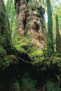 仏陀杉(ヤクスギ)の写真素材 [FYI04046969]