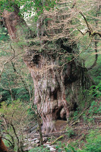 縄文杉(ヤクスギ)の写真素材 [FYI04046972]