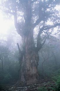 縄文杉(ヤクスギ)の写真素材 [FYI04046973]