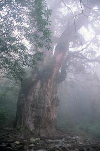 縄文杉(ヤクスギ)の写真素材 [FYI04046974]
