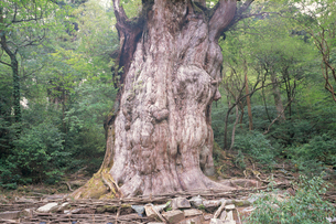 縄文杉(ヤクスギ)の写真素材 [FYI04046977]