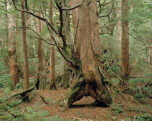 最初に根を下した倒木が朽ちて空洞となったヤクスギの写真素材 [FYI04046978]