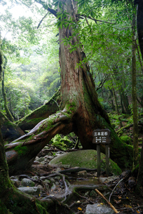 ヤクスギ(屋久杉):三本足杉(胸高周囲3.9m・樹高25.0の写真素材 [FYI04046979]