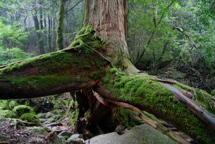 ヤクスギ(屋久杉):三本足杉(胸高周囲3.9m・樹高25.0の写真素材 [FYI04046983]