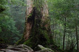 ヤクスギ(屋久杉):七本杉(胸高周囲8.3m・樹高18.0mの写真素材 [FYI04046987]