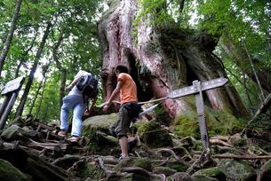 ヤクスギ(屋久杉):二代大杉と登山者の写真素材 [FYI04046990]