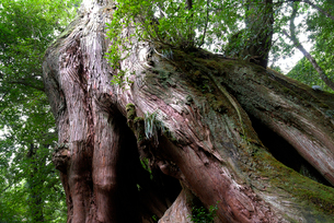 ヤクスギ(屋久杉):二代大杉(胸高周囲4.4m・樹高32.0の写真素材 [FYI04046991]