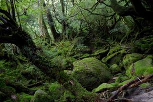 「もののけ姫の森」とも呼ばれる白谷雲水峡の森の写真素材 [FYI04046993]