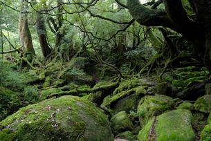 「もののけ姫の森」とも呼ばれる白谷雲水峡の森の写真素材 [FYI04046995]
