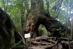 ヤクスギ(屋久杉):くぐり杉(胸高周囲3.1m・樹高22.0の写真素材 [FYI04047000]