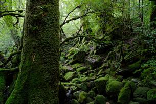 白谷雲水峡の「もののけ姫の森」と呼ばれる辺りは、水を含んだ苔の写真素材 [FYI04047007]