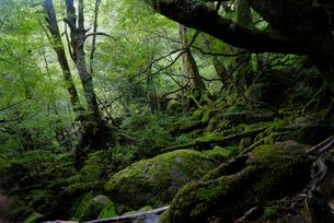 「もののけ姫の森」とも呼ばれる白谷雲水峡の森の写真素材 [FYI04047008]