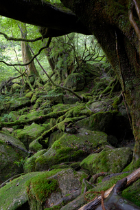 「もののけ姫の森」とも呼ばれる白谷雲水峡の森の写真素材 [FYI04047010]