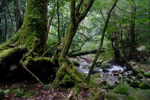 ヤクスギ(屋久杉)の脇を流れる沢の写真素材 [FYI04047013]