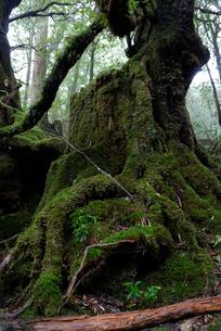 「もののけ姫の森」とも呼ばれる白谷雲水峡の森の写真素材 [FYI04047026]