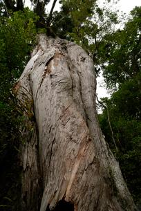 ヤクスギ(屋久杉):弥生杉(胸高周囲8.1m・樹高26.1mの写真素材 [FYI04047045]