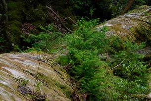 倒れたヤクスギ(屋久杉):蛇紋杉の倒木上更新(樹高:23.6の写真素材 [FYI04047052]