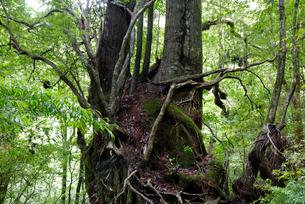 ヤクスギ(屋久杉):双子杉の写真素材 [FYI04047053]
