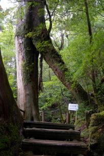 ヤクスギランド くぐり杉(ヤクスギ) 樹高22.7m、胸高周の写真素材 [FYI04047077]