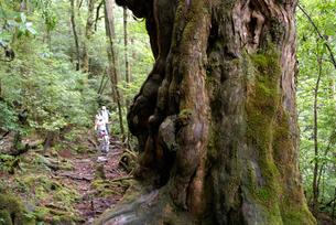 仏陀杉と登山者(樹高21.5m、胸高周囲8.0m、推定樹齢1の写真素材 [FYI04047085]