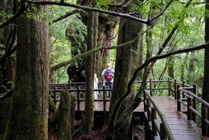 仏陀杉遊歩道デッキ(樹高21.5m、胸高周囲8.0m、推定樹の写真素材 [FYI04047086]