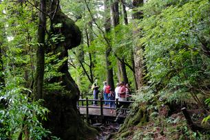 仏陀杉遊歩道デッキ(樹高21.5m、胸高周囲8.0m、推定樹の写真素材 [FYI04047087]