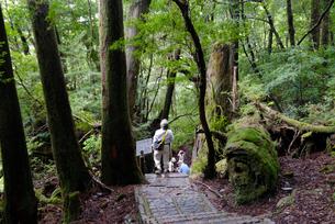 遊歩道仏陀杉近く 遊歩道がよく整備されているので観光客も手軽の写真素材 [FYI04047088]