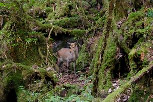 ヤクシカのメス 成体 歩道沿いの苔の森の写真素材 [FYI04047089]