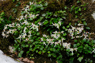 ヤクシマダイモンジソウの花の写真素材 [FYI04047093]