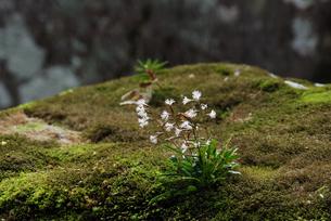 ホソバハグマの花の写真素材 [FYI04047094]