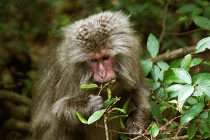 ハドノキの実を食べるヤクシマザル(ニホンザル)の写真素材 [FYI04047160]