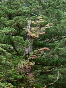 ヤクスギ(屋久杉)に着生したナナカマドの写真素材 [FYI04047168]