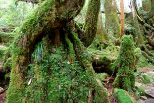 小花山の屋久杉原生林 小花山は代表的な屋久杉の森 湿度の高いの写真素材 [FYI04047212]