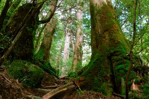 小花山の屋久杉原生林 小花山は代表的な屋久杉の森 大小の屋久の写真素材 [FYI04047213]