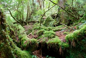 小花山の屋久杉原生林 小花山は代表的な屋久杉の森 湿度が高くの写真素材 [FYI04047214]