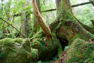 小花山の屋久杉原生林 小花山は代表的な屋久杉の森 湿度が高くの写真素材 [FYI04047215]