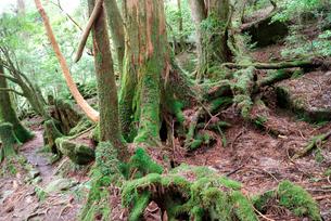 小花山の屋久杉原生林 倒木や切株も多い小花山は代表的な屋久杉の写真素材 [FYI04047222]