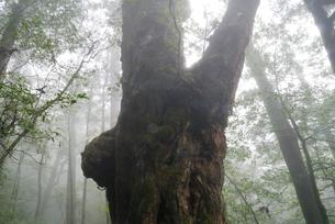 霧のヤクスギランド仏陀杉の写真素材 [FYI04047246]