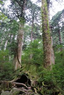 ウィルソン株とヤクスギ(屋久杉)の森の写真素材 [FYI04047293]