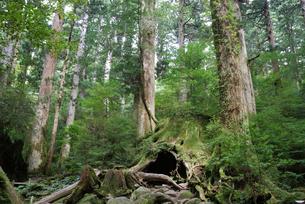 ウィルソン株とヤクスギ(屋久杉)の森の写真素材 [FYI04047296]