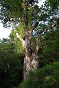 縄文杉の写真素材 [FYI04047299]