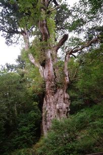 縄文杉の写真素材 [FYI04047301]