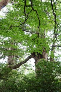 夫婦杉の写真素材 [FYI04047302]