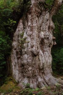 縄文杉の幹の写真素材 [FYI04047304]