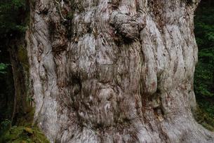 縄文杉の幹の写真素材 [FYI04047305]
