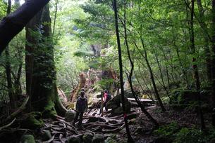 2010年9月に倒壊した翁杉の写真素材 [FYI04047307]